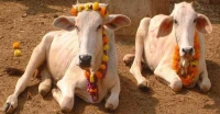 ভারতের বিধানসভায় গরুকে 'রাষ্ট্রমাতা' ঘোষণা!