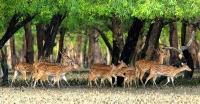 <small>শিকারি চক্র বেপরোয়া</small> সুন্দরবন থেকে উজাড় হচ্ছে মায়াবী চিত্রল হরিণ